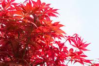 红色的鸡爪槭