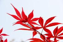 鸡爪槭红色的树叶