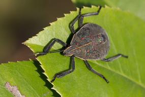 绿叶上的麻皮蝽