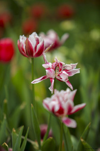 郁金香花朵