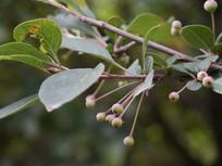 垂丝海棠的果实