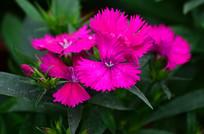粉红色石竹花图片