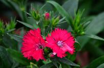 红色石竹花图片