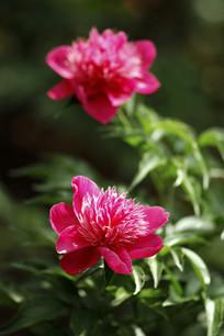 花卉特写粉色