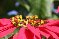 木薯花上的蜜蜂