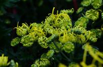 嫩绿色的菊花花卉图片