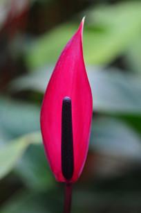 热带红掌刚开放的花序
