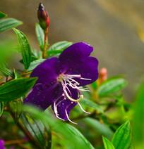 艳紫野牡丹花卉图片