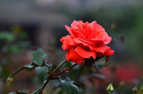 一朵红玫瑰