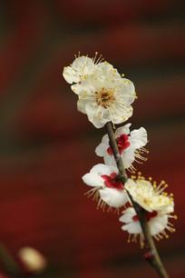 白浅黄色的梅花