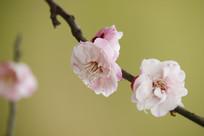 侧开的浅粉梅花