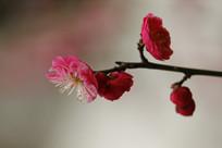 侧面盛开的红梅