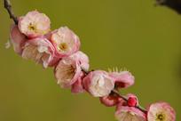 粉红色盛开的梅花