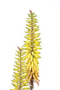 黄色芦荟花