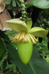 绿色芭蕉花