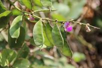 嫩绿的茶豆及花