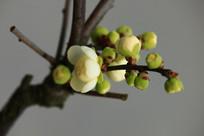 浅绿色的梅花苞