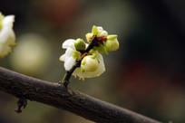 白黄绿色的梅花苞