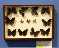 波蚬蝶和幻紫斑蛱蝶