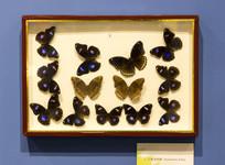 幻紫斑蛱蝶