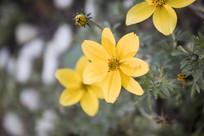 几朵黄色的雏菊
