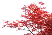 鸡爪槭红叶