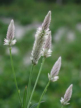 苋科植物青葙