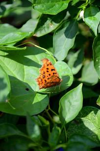 落在树叶上展翅蝴蝶