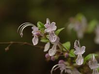 美丽的三花莸花朵
