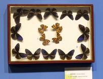 美眼蛱蝶和异型紫斑蝶