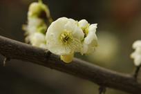 浅白绿色的梅花