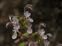 盛开的三花莸花朵
