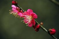 盛开红梅花