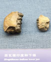 西瓦猿印度钟下颌