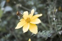 一朵黄色的雏菊花