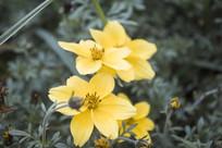 一朵黄色的雏菊花朵
