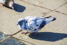 一只抖动毛的白黑相间的花鸽子