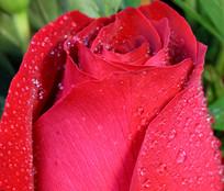 红玫瑰花瓣
