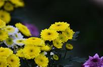 黄色菊花特写图片