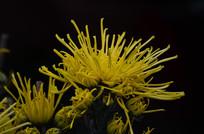 金菊花卉特写图片