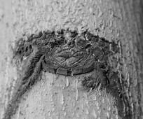 老树上的疤痕