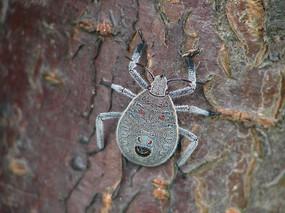 麻皮蝽若虫