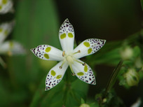 獐牙菜花朵特写