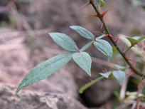 药用植物两面针