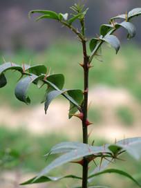 云香科植物两面针
