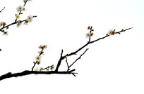 白色背景一枝梅花图片