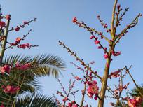 腊梅椰树风情