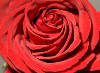 高清红玫瑰花纹特写