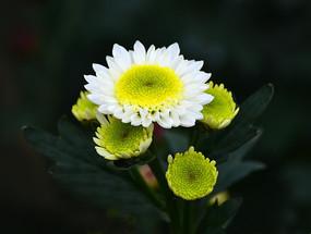 美丽的菊花花朵