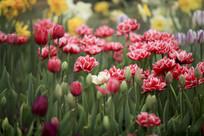 郁金香花朵朵开